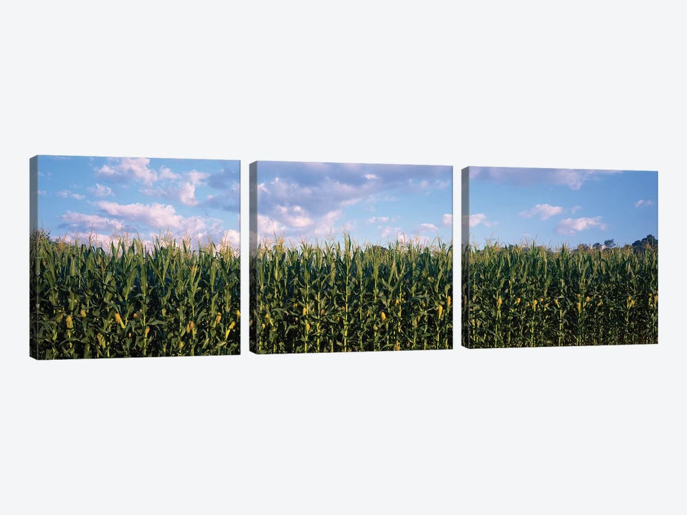 Corn Field, Baltimore County, Maryland, USA by Panoramic Images 3-piece Canvas Artwork