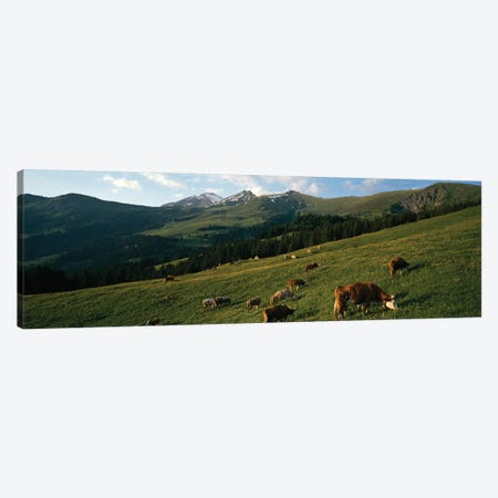 Cows Grazing In A Meadow, Swiss Alps, Switzerland Canvas Print #PIM14600} by Panoramic Images Canvas Print