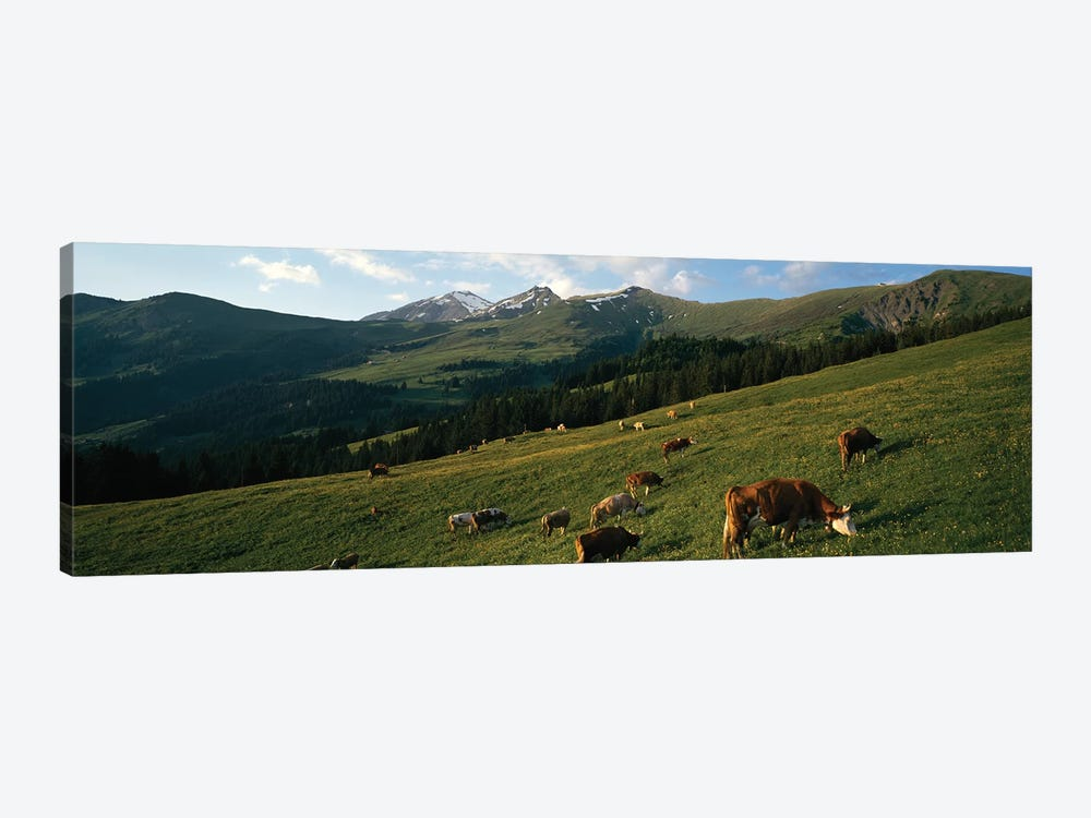 Cows Grazing In A Meadow, Swiss Alps, Switzerland by Panoramic Images 1-piece Canvas Artwork