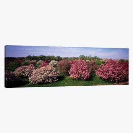 Crab Apple Trees In An Orchard, Morton Arboretum, Lisle, Illinois, USA Canvas Print #PIM14601} by Panoramic Images Art Print