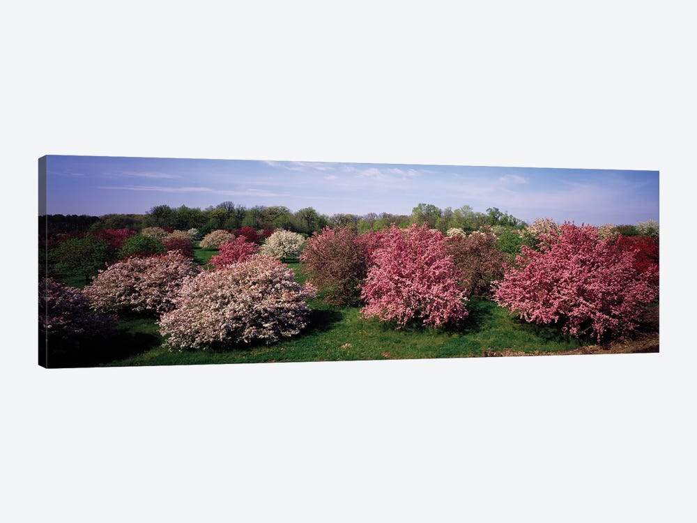 Crab Apple Trees In An Orchard, Morton Arboretum, Lisle, Illinois, USA by Panoramic Images 1-piece Canvas Art Print