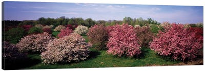 Crab Apple Trees In An Orchard, Morton Arboretum, Lisle, Illinois, USA Canvas Art Print