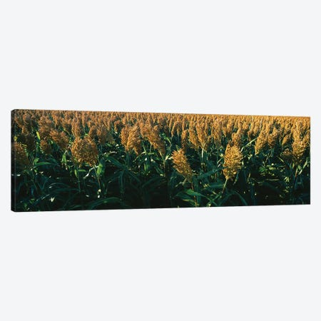 Crop In The Field, Kansas, USA Canvas Print #PIM14603} by Panoramic Images Art Print