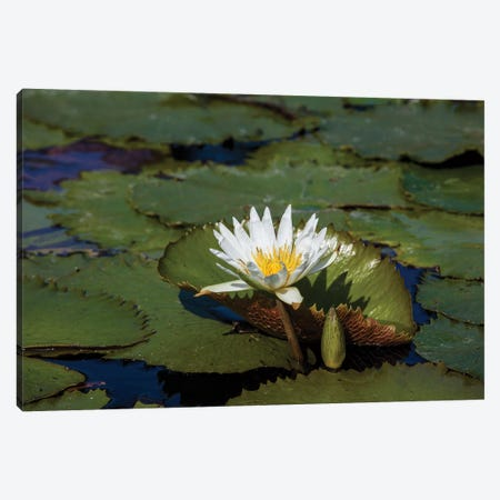 Elevated View Of Water Lily In A Pond, Florida, USA Canvas Print #PIM14631} by Panoramic Images Canvas Art