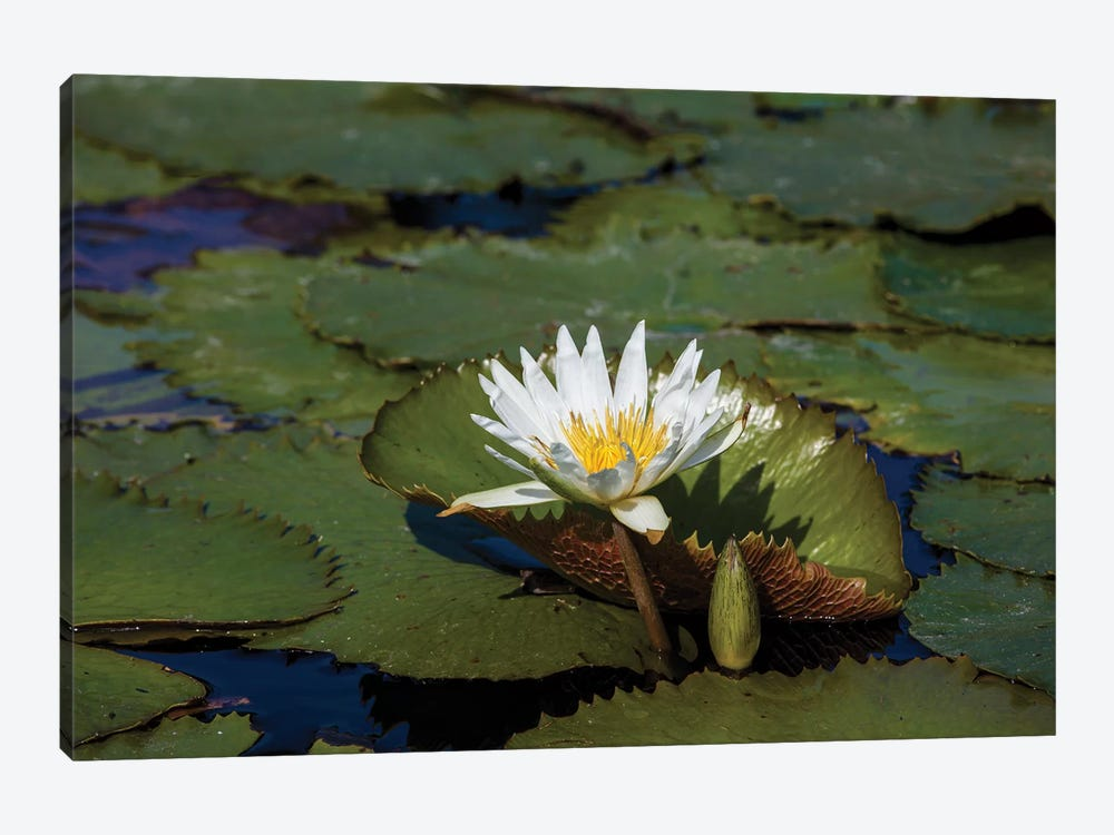 Elevated View Of Water Lily In A Pond, Florida, USA 1-piece Canvas Artwork