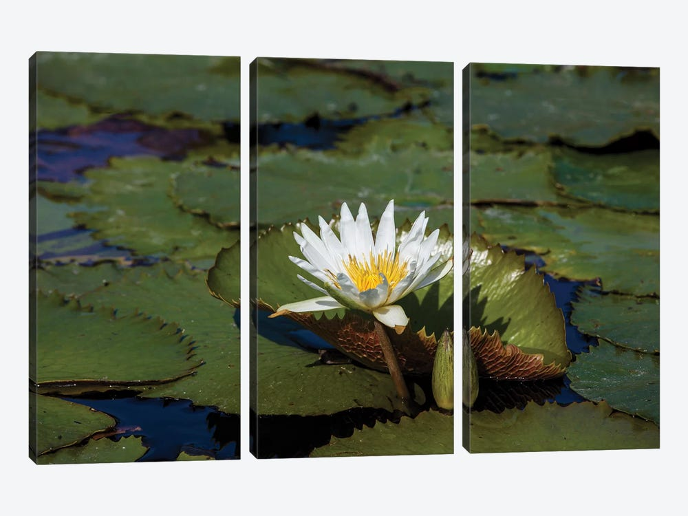 Elevated View Of Water Lily In A Pond, Florida, USA by Panoramic Images 3-piece Canvas Artwork