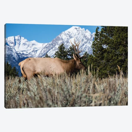 Elk In Field With Mountain Range In The Background, Teton Range, Grand Teton National Park, Wyoming, USA Canvas Print #PIM14632} by Panoramic Images Canvas Art