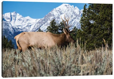 Elk In Field With Mountain Range In The Background, Teton Range, Grand Teton National Park, Wyoming, USA Canvas Art Print