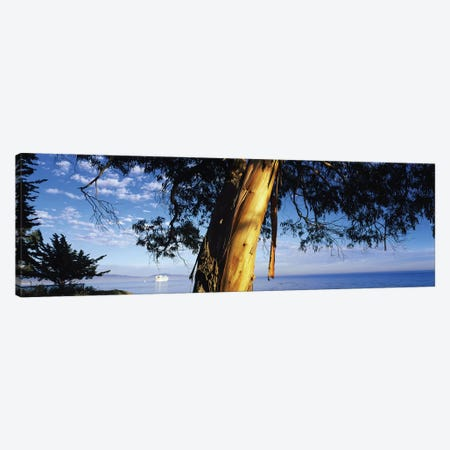 Eucalyptus Tree, Santa Barbara Harbor, California, USA Canvas Print #PIM14635} by Panoramic Images Canvas Art Print