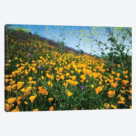 Field Of California Poppies And Canterbury Bells Wildflowers, Diamond Valley Lake, California, USA II Canvas Print #PIM14652} by Panoramic Images Canvas Art