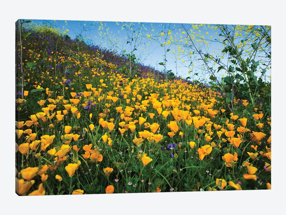 Field Of California Poppies And Canterbury Bells Wildflowers, Diamond Valley Lake, California, USA II by Panoramic Images 1-piece Art Print