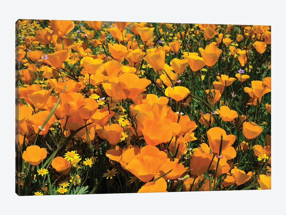 Field Of California Poppies And Canterbury Bells Wildflowers, Diamond Valley Lake, California, USA IV by Panoramic Images 1-piece Canvas Art Print