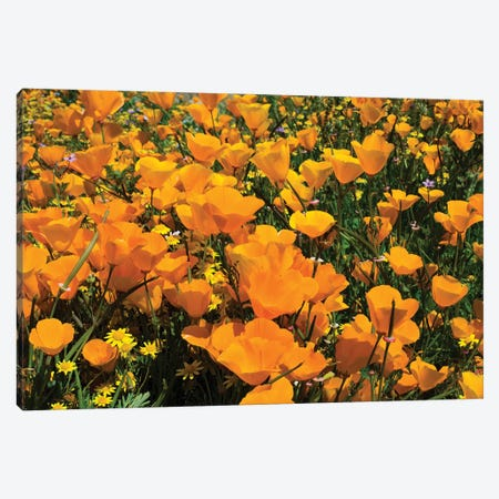 Field Of California Poppies And Canterbury Bells Wildflowers, Diamond Valley Lake, California, USA IV 3-Piece Canvas #PIM14654} by Panoramic Images Canvas Print