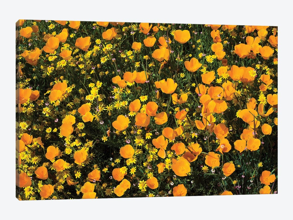 Field Of California Poppies And Canterbury Bells Wildflowers, Diamond Valley Lake, California, USA V by Panoramic Images 1-piece Canvas Wall Art