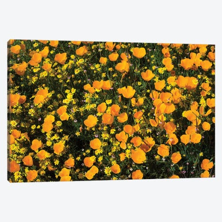 Field Of California Poppies And Canterbury Bells Wildflowers, Diamond Valley Lake, California, USA V 3-Piece Canvas #PIM14655} by Panoramic Images Art Print