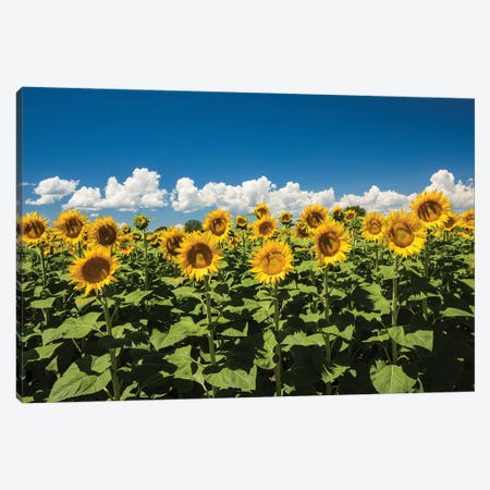 Field Of Sunflowers Canvas Print #PIM14656} by Panoramic Images Canvas Art Print