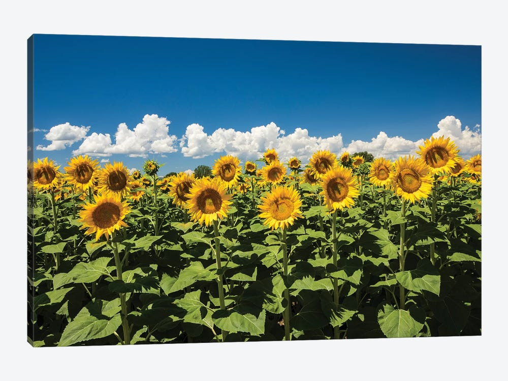 Field Of Sunflowers by Panoramic Images 1-piece Canvas Art Print