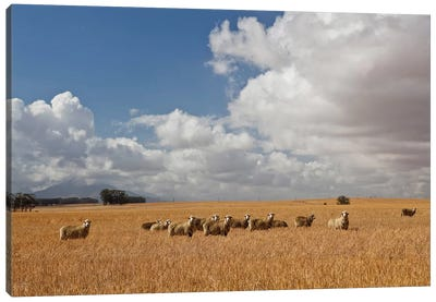Flock Of Sheep Grazing In Farm, Bartholomeus Klip Farm, Hermon, South Africa Canvas Art Print