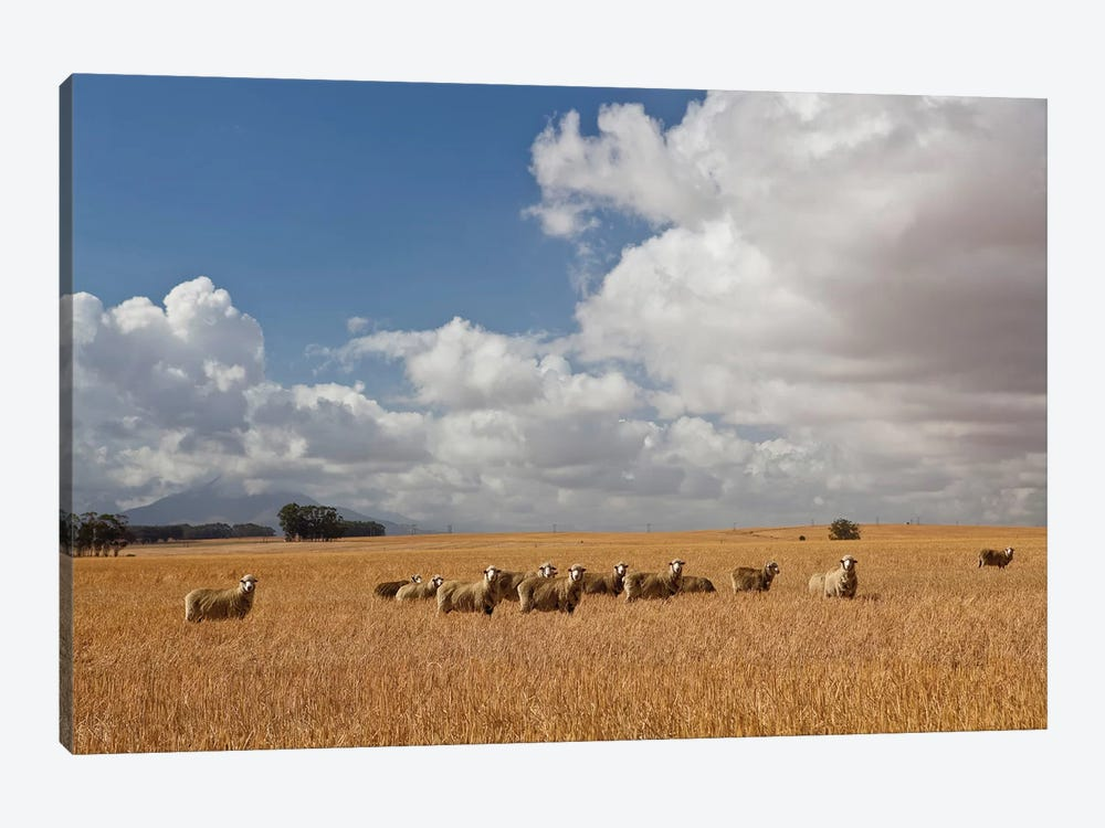 Flock Of Sheep Grazing In Farm, Bartholomeus Klip Farm, Hermon, South Africa by Panoramic Images 1-piece Canvas Art Print