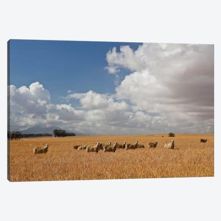 Flock Of Sheep Grazing In Farm, Bartholomeus Klip Farm, Hermon, South Africa Canvas Print #PIM14661} by Panoramic Images Canvas Art Print