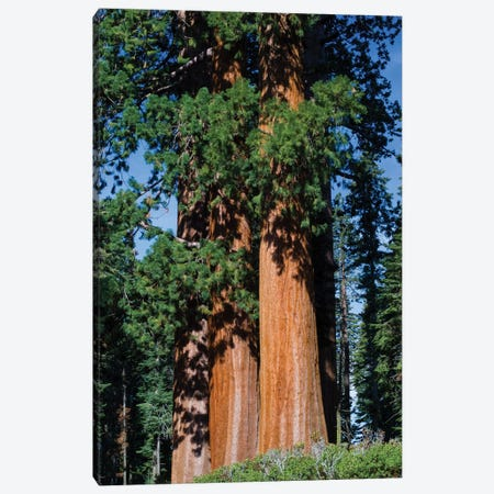 Giant Sequoia Trees In A Forest, Sequoia National Park, California, USA I Canvas Print #PIM14666} by Panoramic Images Canvas Art