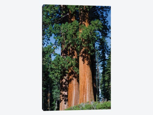 Giant Sequoia Trees In A Forest Sequoia National Park Califo Icanvas