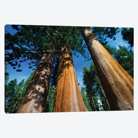 Giant Sequoia Trees In A Forest, Sequoia National Park, California, USA II Canvas Print #PIM14667} by Panoramic Images Canvas Art