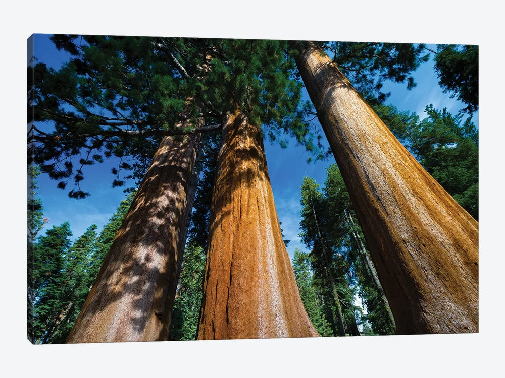 Giant Sequoia Trees In A Forest, Sequoia National Park, California, USA II by Panoramic Images 1-piece Art Print