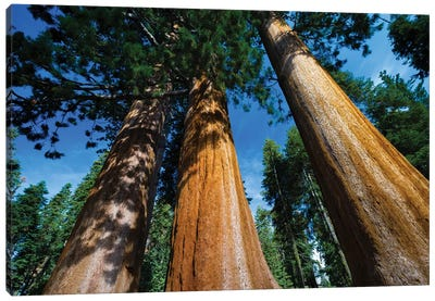 Giant Sequoia Trees In A Forest, Sequoia National Park, California, USA II Canvas Art Print