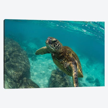 Green Sea Turtle Swimming In The Pacific Ocean, Hawaii, USA Canvas Print #PIM14679} by Panoramic Images Canvas Wall Art