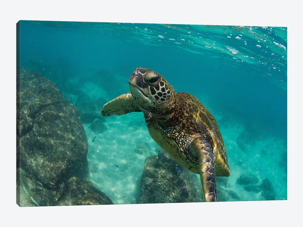 Green Sea Turtle Swimming In The Pacific Ocean, Hawaii, USA by Panoramic Images 1-piece Canvas Artwork