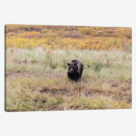Grizzly Bear In A Forest, Grand Teton National Park, Wyoming, USA II Canvas Print #PIM14682} by Panoramic Images Art Print