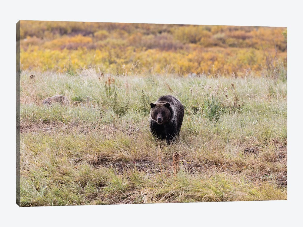 Grizzly Bear In A Forest, Grand Teton National Park, Wyoming, USA II by Panoramic Images 1-piece Canvas Art