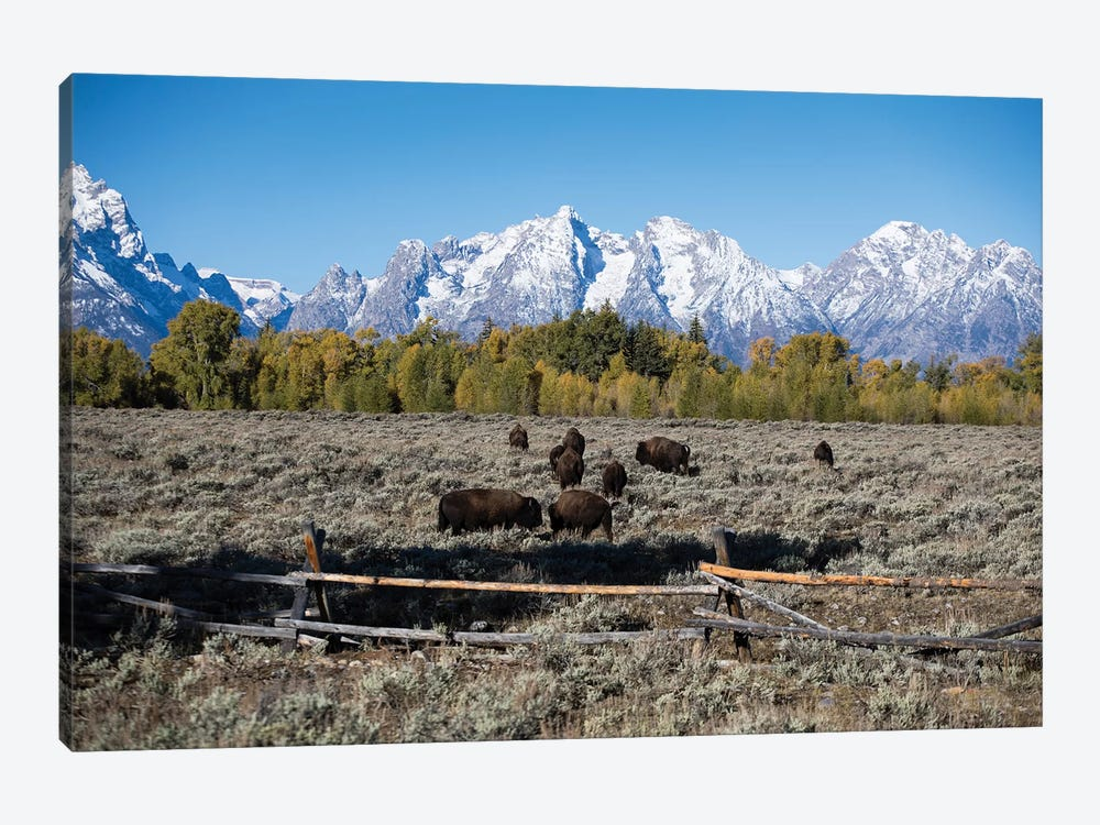 Herd Of American Bison Grazing In Field, Teton Range, Grand Teton National Park, Wyoming, USA by Panoramic Images 1-piece Canvas Wall Art