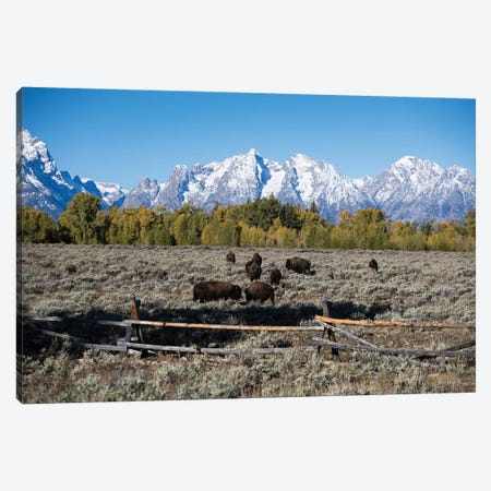 Herd Of American Bison Grazing In Field, Teton Range, Grand Teton National Park, Wyoming, USA Canvas Print #PIM14684} by Panoramic Images Canvas Wall Art