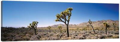Joshua Tree National Park, California, USA II Canvas Art Print