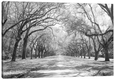 Live Oaks And Spanish Moss Wormsloe State Historic Site Savannah, Georgia (Black And White) I Canvas Art Print