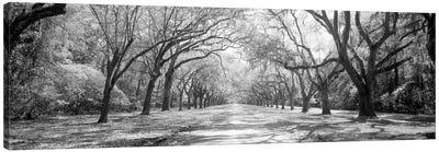 Live Oaks And Spanish Moss Wormsloe State Historic Site Savannah, Georgia (Black And White) II Canvas Art Print