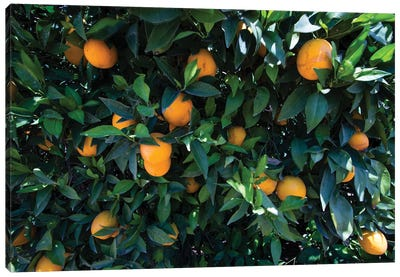 Oranges Growing On A Tree, California, USA Canvas Art Print