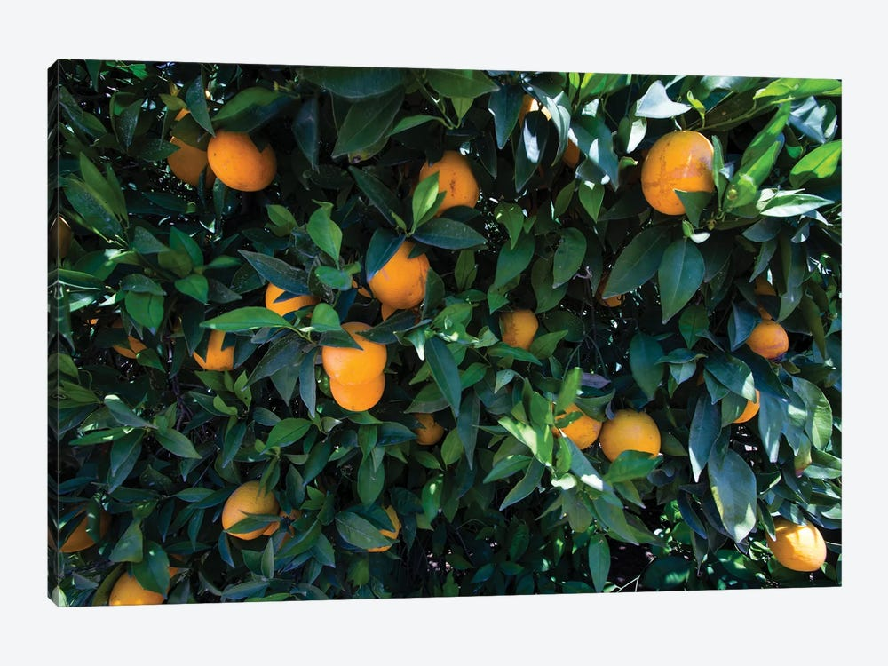 Oranges Growing On A Tree, California, USA by Panoramic Images 1-piece Canvas Artwork