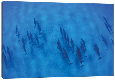 Overhead View Of Pod Of Dolphins Swimming In Pacific Ocean, Hawaii, USA I Canvas Art Print