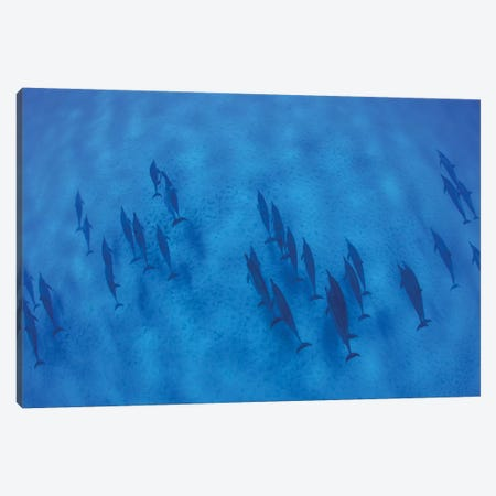 Overhead View Of Pod Of Dolphins Swimming In Pacific Ocean, Hawaii, USA I Canvas Print #PIM14759} by Panoramic Images Canvas Print