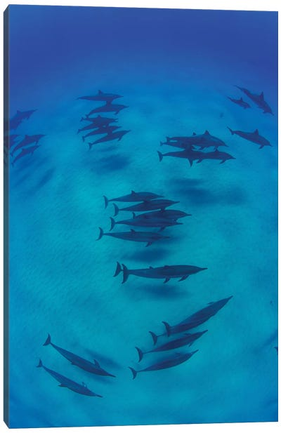 Overhead View Of Pod Of Dolphins Swimming In Pacific Ocean, Hawaii, USA II Canvas Art Print