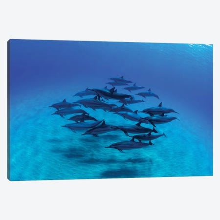 Overhead View Of Pod Of Dolphins Swimming In Pacific Ocean, Hawaii, USA III Canvas Print #PIM14761} by Panoramic Images Canvas Art