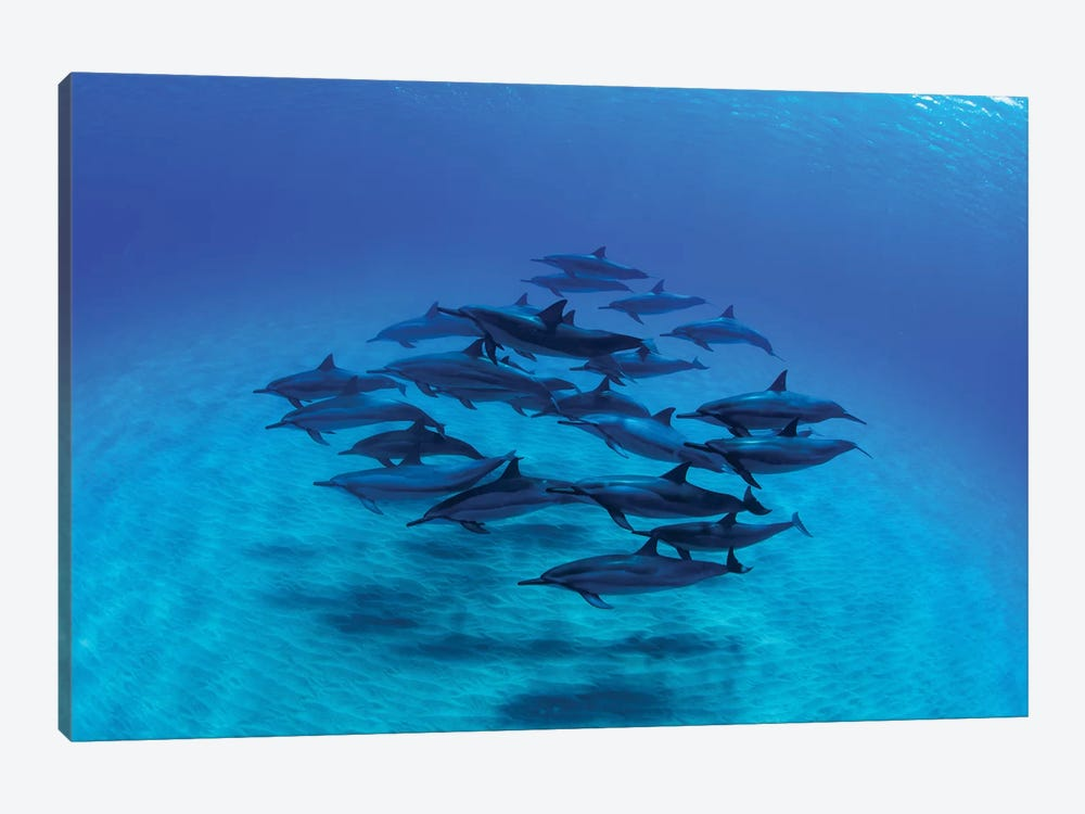 Overhead View Of Pod Of Dolphins Swimming In Pacific Ocean, Hawaii, USA III by Panoramic Images 1-piece Canvas Artwork