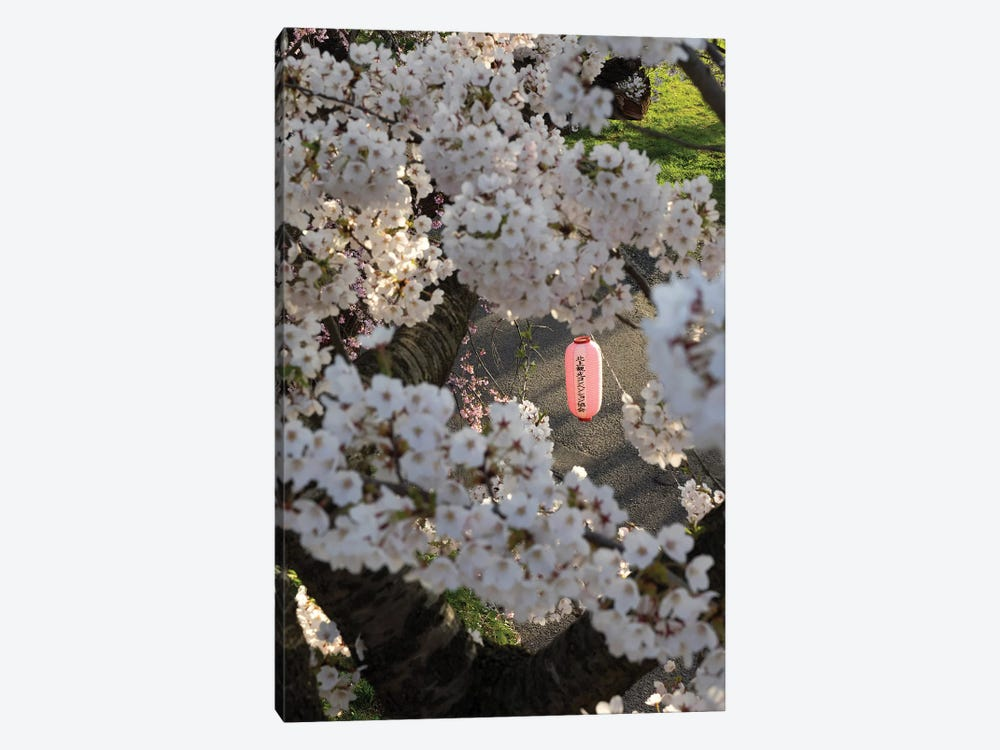 Pink Lantern Seen Through Cherry Blossoms Along Kitakami River, Kitakami, Iwate Prefecture, Japan by Panoramic Images 1-piece Canvas Wall Art