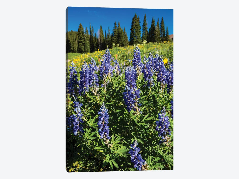 Purple Wildflowers Growing In A Field, Crested Butte, Colorado, USA by Panoramic Images 1-piece Canvas Artwork