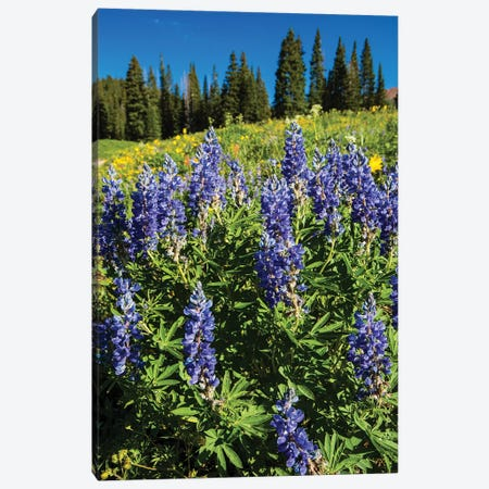 Purple Wildflowers Growing In A Field, Crested Butte, Colorado, USA Canvas Print #PIM14796} by Panoramic Images Canvas Artwork