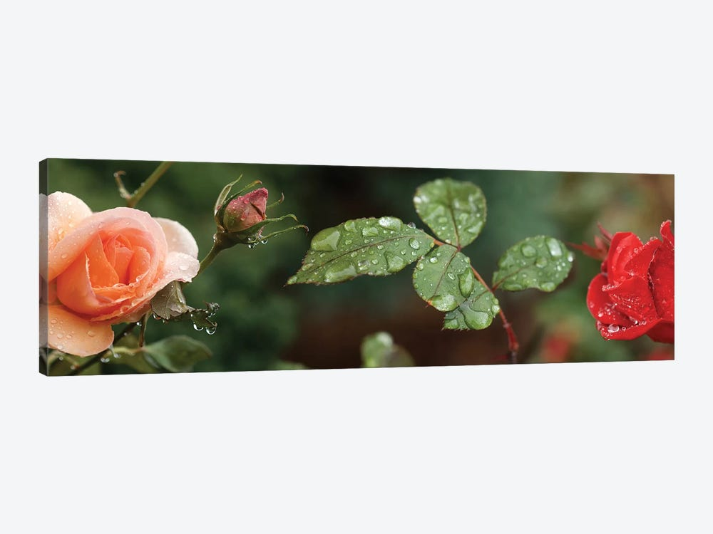 Raindrop On Rose Flowers And Leaves by Panoramic Images 1-piece Canvas Artwork
