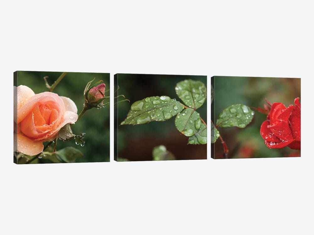 Raindrop On Rose Flowers And Leaves by Panoramic Images 3-piece Canvas Wall Art